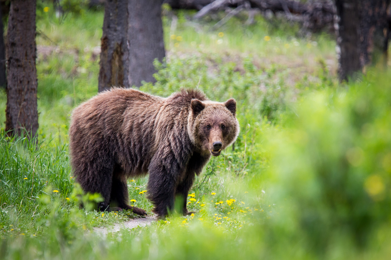 Out Adventures; Gay Travel; Gay Canada; Bears; Canadian Safari; wildlife; Rocky Mountains