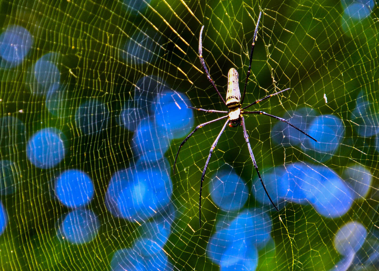 A large spider resting in its web near Kuang Si Falls, Laos.