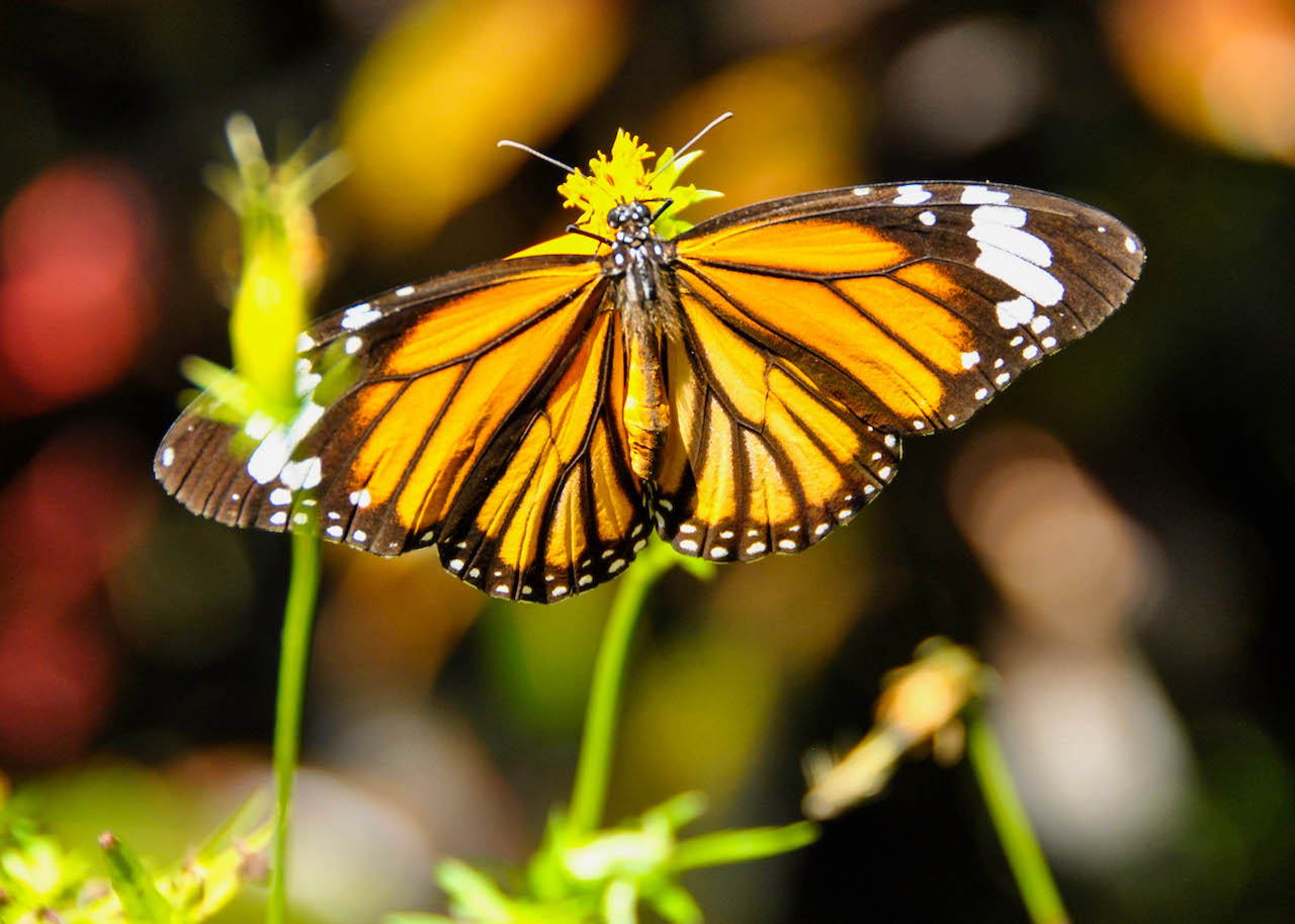 A monarch butterfly drinking nectar in Laos.
