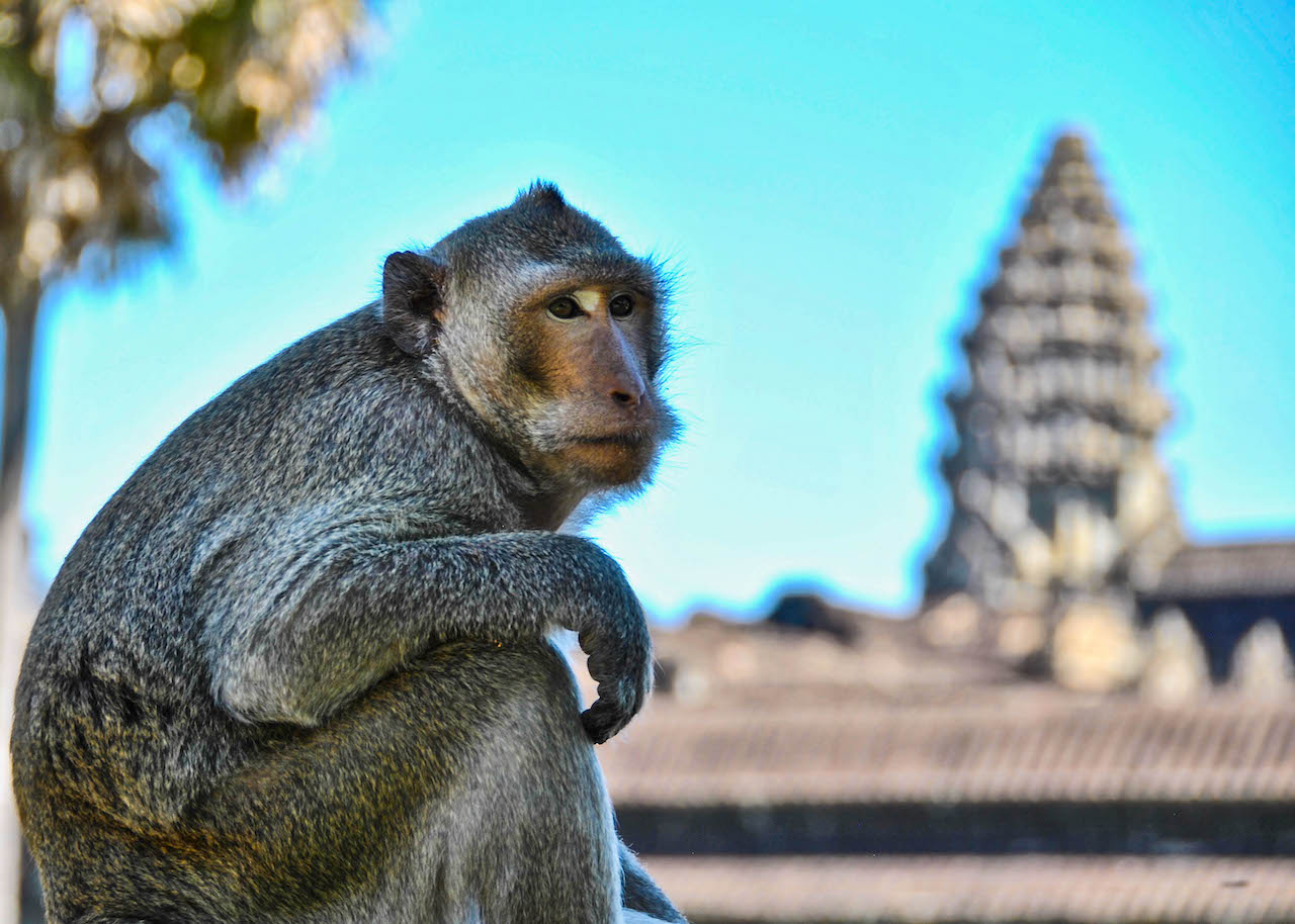 A mischievous monkey sitting in front of Angkor Wat.