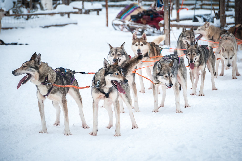 A team of husky's get ready to pull a dog sled in Finland's northern province.