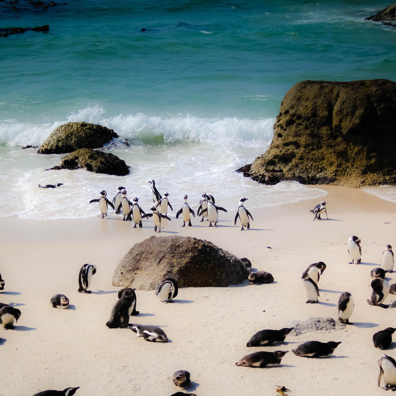 A group of African Penguins come out of the water at Boulders Penguin Colony.