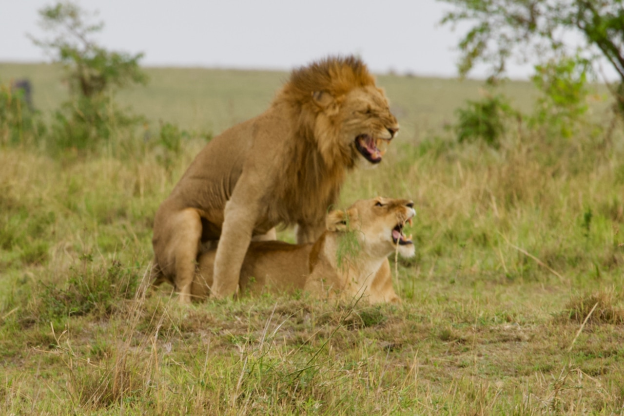 Two lions having sex in the savannah.