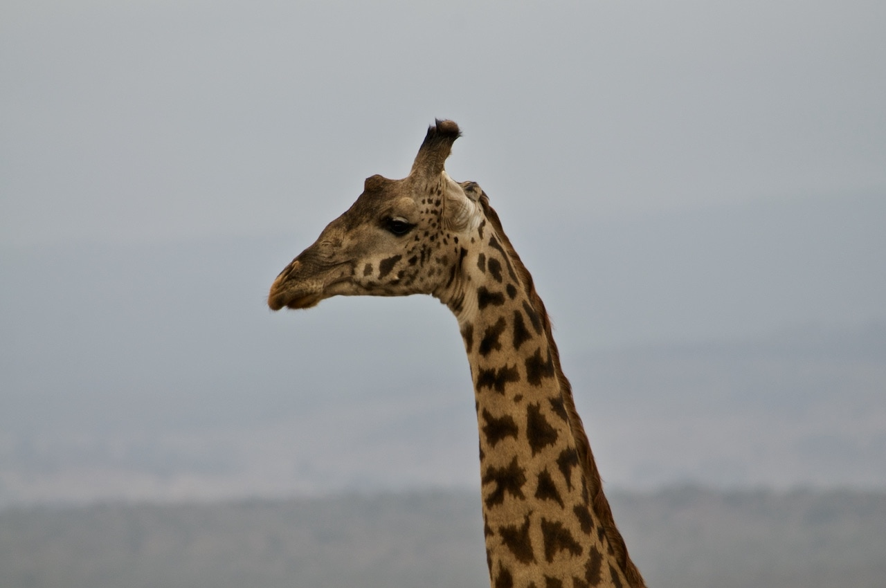 The head of a giraffe is silhouetted against a grey Kenyan sky.