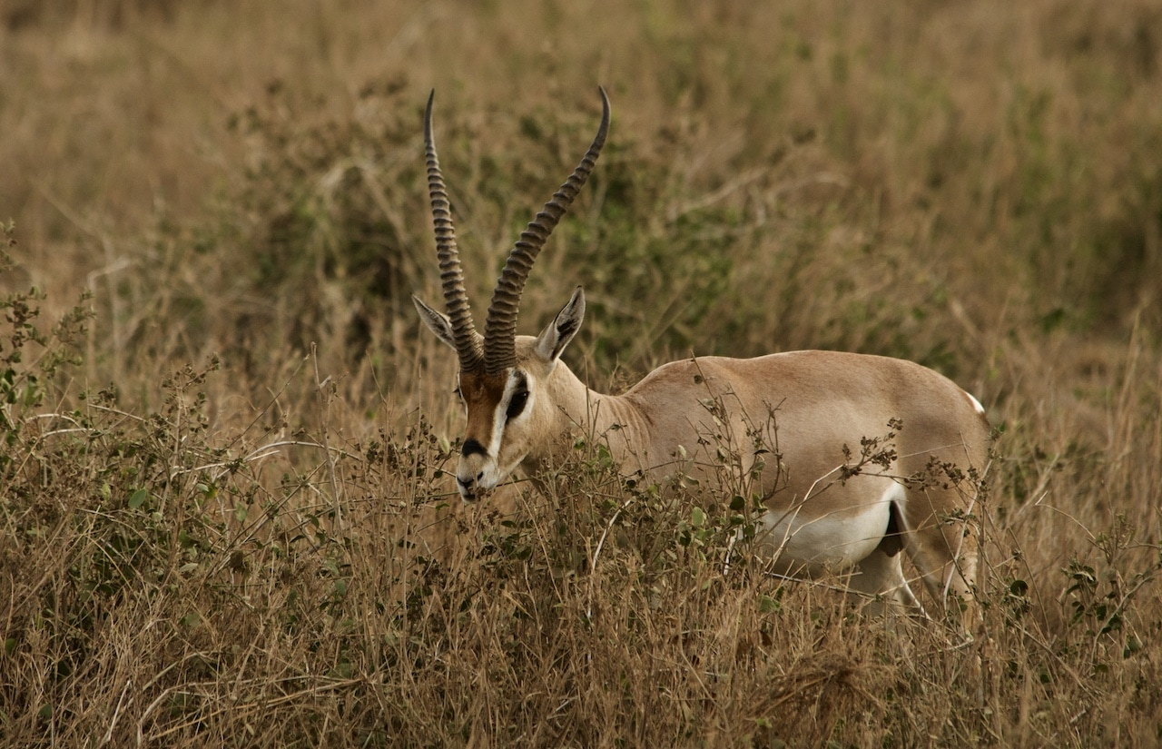 A gazelle grazing in Amboselli National Park.