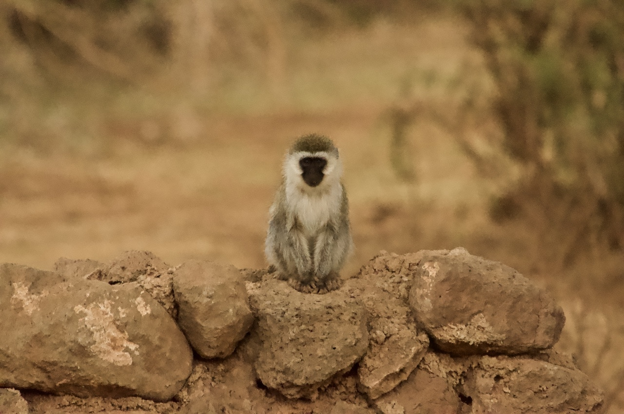 An adorable primate in Kenya looks directly into camera.