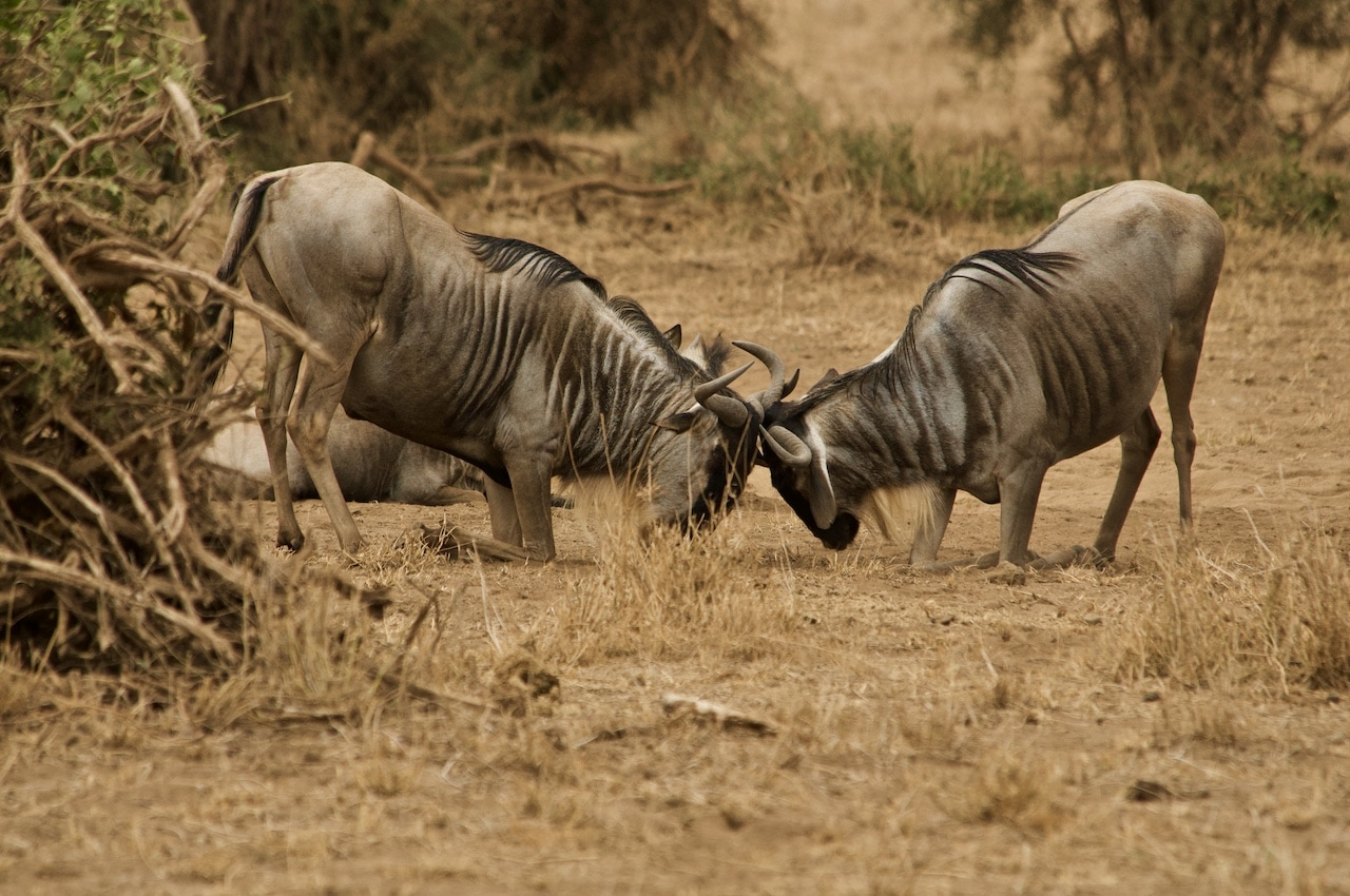 Two wildebeest clash heads and horns in a savannah.
