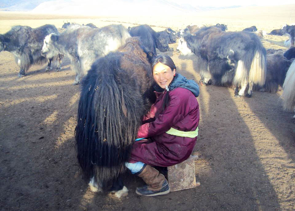 A Mongolian woman milks a cow.